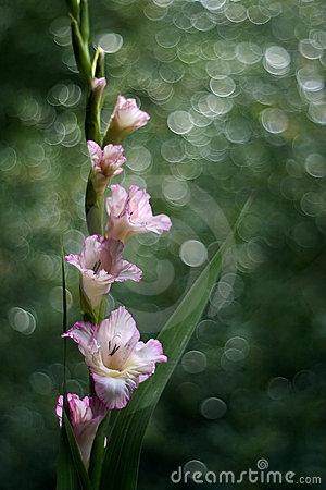 Gladiolus flower1