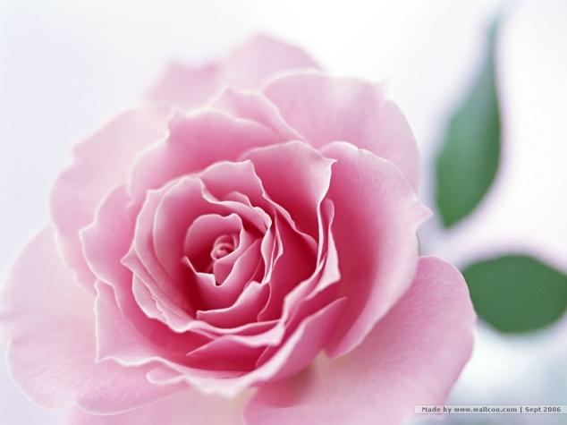elegant-flower-wallpaper_1024x768_16158